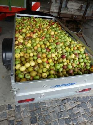 In großen Mengen wird das Obst angeliefert...